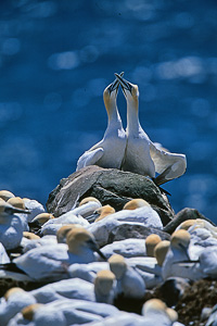 Cape St. Mary's Newfoundland, Bird Photography Off the Beaten Path - Robert Nessler