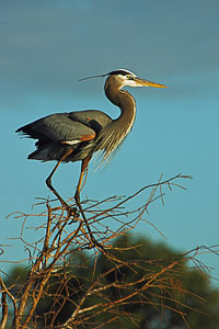 The Great Blue Herons of Southern Florida - Arlene Spagna