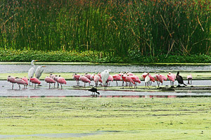 My Favorite Florida Birds, The Roseate Spoonbill - Don Chamberlain